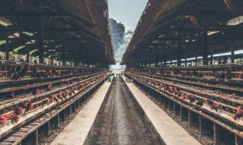 Ubezpieczenie kurnika – największe zagrożenia