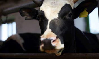 Dopłaty dla rolników zautrzymywanie krów mlecznych – co warto wiedzieć?